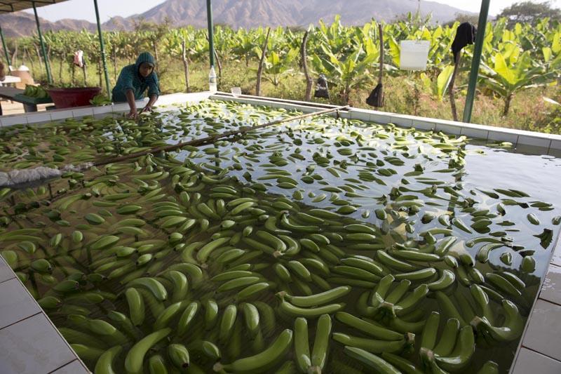 ACOMPAÑA CRÓNICA: PERÚ ACUEDUCTO. LIM01. OLMOS (PERÚ), 23/09/2016.- Un empleado lava plátanos antes de su almacenamiento y transporte este domingo, 18 de septiembre de 2016, en Olmos (Perú). A 2.000 metros bajo los Andes, el acueducto más profundo de América conduce el agua para que miles de hectáreas de frutas y hortalizas crezcan en una de las zonas más desérticas y pobres de Perú, cuyo desarrollo económico se disparará este año al exportar sus primeras cosechas a Norteamérica y Europa. EFE/Ernesto Arias