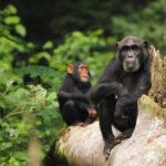 Chimpancés se cruzaron de forma similar a humanos y neandentales