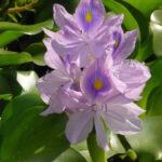 Se extiende peligrosa flor invasora de la naturaleza:Eichhornia crassipes