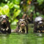 Perú registra la mayor población de nutrias gigantes en reserva de Amazonía