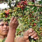 INEI: Producción de café se incrementó en 42.6% en agosto