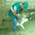 SENASA vacuna a la fecha más de 45 mil cerdos contra la peste porcina