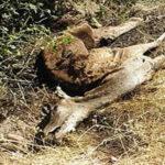 EEUU: Gusano erradicado hace 30 años está diezmando a ciervos