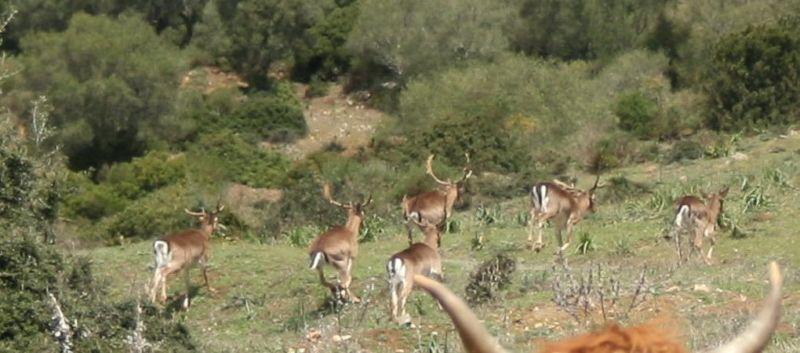 ciervos-caza