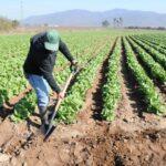 FAO: Pequeños agricultores se verán afectados por precios bajos de alimentos