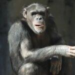 Los grandes primates pueden leer la mente, según experimento