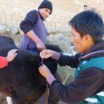 Senasa vacuna a 1,200 bovinos contra la rabia en Grau y Abancay
