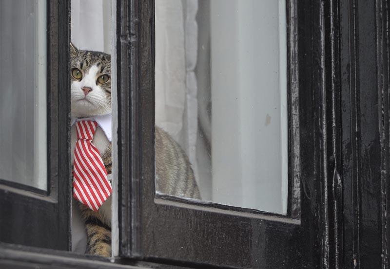 HM016 LONDRES (REINO UNIDO) 14/11/2016.- El gato de Julian Assange con cuello y corbata observa atentamente por una de las ventanas de la Embajada de Ecuador en Londres (Reino Unido) hoy, 14 de noviembre de 2016. El fundador del portal WikiLeaks, el australiano Julian Assange, es interrogado por primera vez en la embajada de Ecuador en Londres sobre supuestos delitos sexuales que investiga la Justicia sueca. EFE/Hannah Mckay