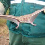 Apurímac: Labor de vigilancia del Senasa reduce incidencia de rabia de murciélagos