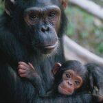 Los chimpancés hacen las cosas como su madre les enseña
