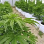 EEUU: 5 estados votarán este martes si se legaliza la marihuana (VIDEO)