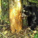 Sernanp toma por primera vez fotografías del oso andino en parque del Río Abiseo