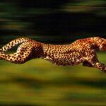 Mamífero más veloz del mundo se encuentra en peligro de extinción