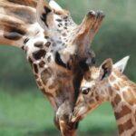 IUCN: La población mundial de jirafas se redujo en un 40%