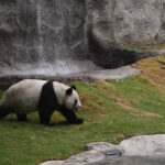 Muere el oso panda padre de los gemelos nacidos en agosto: Long Hui
