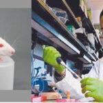 Órganos desarrollados en animales posibilitarían trasplantes del futuro en humanos