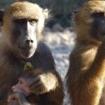 Monos babuinos producen 5 sonidos parecidos a vocales del habla humana