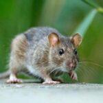 Japón: Le trasplantan páncreas a una rata para revertirle la diabetes