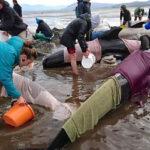 Nueva Zelanda: 300 ballenas mueren en playa pese al esfuerzo por salvarlas (VIDEO)