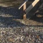 Costa Rica: Extraña muerte de miles de peces en dos kilómetros de playa