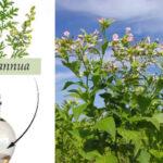 Descubren cómo producir el doble de planta que combate la malaria: Artemisia annua