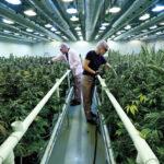 Canadá: Gobierno envía proyecto de ley para uso recreativo de la marihuana