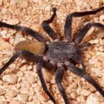 EEUU: Descubren nueva especie de araña gigante en Baja California