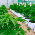 EEUU: California autoriza desde Año Nuevo ventade marihuana recreativa (VIDEO)