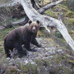 Los osos se comunican a través del olor de sus pies, según estudio