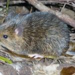 """Descubren rata con """"flexibilidad sexual"""" que puede derivar en macho o hembra"""