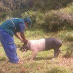 Senasa vacuna a más de 19 mil cerdos contra la peste porcina en Apurímac