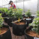 Colombia: Universidad Nacional estrena curso de cultivo de marihuana medicinal