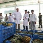 Vraem: Productores de piña exportarán 400 toneladas del tipo Golden