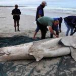 Sudáfrica: Alarma por los restos de tiburones blancos desmembrados