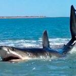 MÉXICO: Tiburón herido de 4.5 metros chapotea en la playa antes de irse (VIDEO)