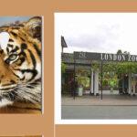 REINO UNIDO: Empleados del Zoo se desnudan para salvar al tigre de Sumatra