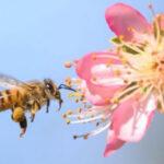 Una molécula en su alimentación impide a las abejas obreras ser reinas