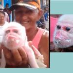 Cuba: Cerda parió camada de 10 lechones y uno tiene facciones de mono