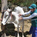 Minagri previene rabia con vacunación a 28 mil bovinos en Apurímac