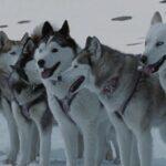 Lugares de Antártida tendrán nombres de perros de expediciones australianas
