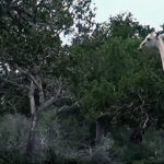 Graban por primera vez a jirafas blancas en Kenia (Video)