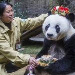 China: Basi la osa panda más vieja del mundo murió a los 37 años (VIDEO)