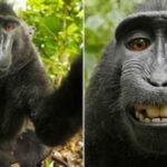 EEUU: Acuerdo de partes zanja debate sobre selfie tomada por mono Naruto (VIDEO)