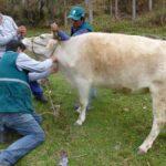 Senasa realiza campaña de diagnóstico contra brucelosis bovina en Apurímac