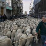 Centenares de ovejas recorren calles de Madrid en Fiesta de la Trashumancia (Fotos)