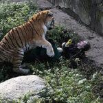 Un tigre ataca a una empleada de zoológico