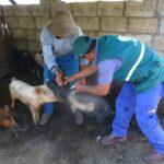 Senasa registra más de 44 mil cerdos vacunados en Apurímac