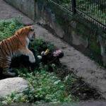 Rusia: Tigre siberiano ataca a su cuidadora en un zoo y público la salva