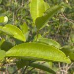 Perú: Superficie de cultivos de hoja de coca creció 9 % en 2016