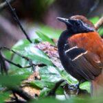 Descubren nueva especie de ave cerca a parque nacional de Amazonia peruana